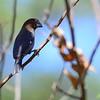 Grosbeak Weaver - Weissstirnweber - Amblyospiza albiformis ♂