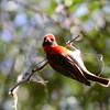 Red-headed Weaver, Scharlachweber, Anaplectes rubriceps ♂
