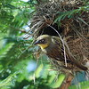 Baglafecht Weaver   -   Baglafechtweber   -  Ploceus baglafechti  ♀