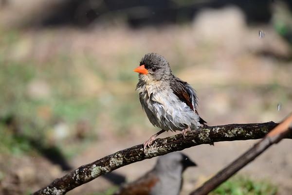 Red-headed Weaver, Scharlachweber, Anaplectes rubriceps ♀