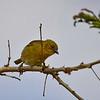 Little Weaver, Zwergweber, Ploceus luteolus ♀