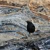 Abyssinian Black Wheatear , Rüppel-Steinschmätzer, Oenanthe lugubris ♂