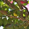 Yellow White-eye, Senegalbrillenvogel, Zosterops senegalensis