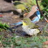 Abyssinian White-eye, Somalibrillenvogel, Zosterops abyssinicus