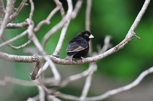 Wilson's indigobird, Wilson Atlaswitwe, Vidua wilsoni ♂