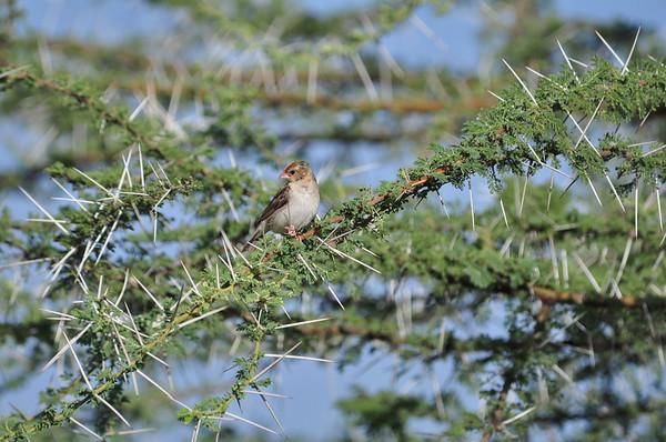 Straw-tailed Whydah - Strohwitwe - Vidua fischeri ♀