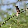 Straw-tailed Whydah - Strohwitwe - Vidua fischeri ♂