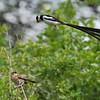 Pin-tailed Whydah - Dominikanerwitwe - Vidua macroura ♀ ♂