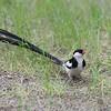 Pin-tailed Whydah - Dominikanerwitwe - Vidua macroura ♂