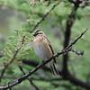 Pin-tailed Whydah - Dominikanerwitwe - Vidua macroura ♀