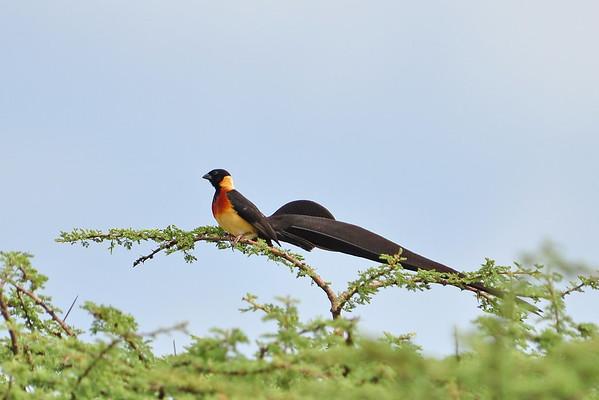 Eastern Paradise Whydah - Spitzschwanz-Paradieswitwe - Vidua paradisaea ♂