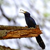 Black scimitarbill, Mohrensichelhopf, Rhinopomastus aterrimus