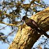 Black-billed Wood-hoopoe, Schwarzschnabel-Baumhopf, Phoeniculus somaliensis