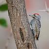 Cardinal Woodpecker - Kardinalspecht - Dendropicus fuscescens ♂