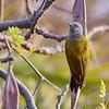 Grey-headed Woodpecker, Graukopfspecht  juv.♂
