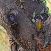 Grey-headed Woodpecker, Graukopfspecht ♂
