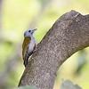 Grey-headed Woodpecker, Graukopfspecht  ♀