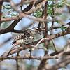 Cardinal Woodpecker - Kardinalspecht - Dendropicus fuscescens  ♀