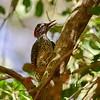 Nubian Woodpecker, Nubierspecht, Campethera nubica  ♀