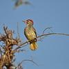 Nubian Woodpecker, Nubierspecht, Campethera nubica ♂