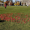 Poppy Planting for Remembrance Day