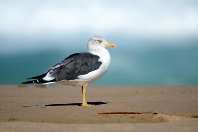 Alke, Möwen, Seeschwalben - Auks, Gulls, Terns,
