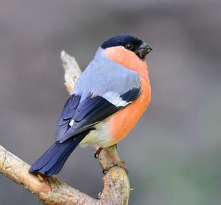 11.  Europäische Vögel / Birds of Europe