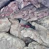 Mauerläufer, Wallcreeper, Trichodroma muraria ♂