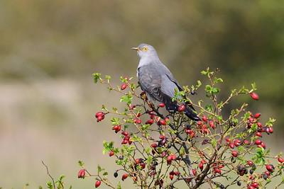 Kuckuke - Cuckoo
