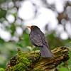 Amsel, Black Bird, Turdus merula