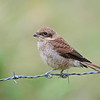 Neuntöter, Red-backed Shrike,  Lanius collurio