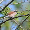 Neuntöter, Red-backed Shrike,  Lanius collurio ♂