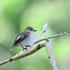 Pied Flycatcher, Trauerrschnäpper, Ficedula hypoleuca ♀
