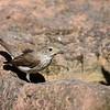 Grauschnäpper, Striped Flycatcher, Muscicapa striata