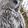 Animals, Birds, Great Grey Owl, Marwell Zoo, Owl - 20/02/2005