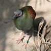 Animals, Birds, Crested Wood Partridge, Female, Marwell Zoo, Partridge, Tropical House @ Marwell Zoo, City of Winchester,England - 22/03/2018