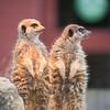 Animals, Marwell Zoo, Meerkat, Slender-tailed Meerkat, Zoo - 26/02/2016
