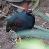 Animals, Birds, Crested Wood Partridge, Male, Marwell Zoo, Partridge, Tropical House @ Marwell Zoo, City of Winchester,England - 22/03/2018