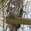 Animals, Birds, Great Grey Owl, Marwell Zoo, Owl - 02/04/2013