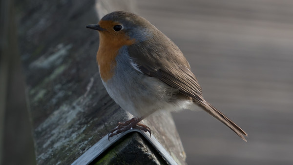 Animals, Birds, Moors Park, Moors Valley Country Park, Robin - 08/03/2018