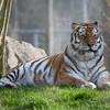 Amur Tiger, Animals, Big Cat, Marwell Zoo, Siberian Tiger, Tiger - 20/03/2012