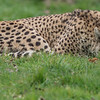 Animals, Big Cat, Cheetah, Marwell Zoo @ Marwell Zoo, City of Winchester,England - 22/03/2018