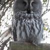 Animals, Birds, Great Grey Owl, Marwell Zoo, Owl - 20/03/2012