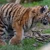 Amur Tiger, Animals, Big Cat, Marwell Zoo, Siberian Tiger, Tiger - 20/02/2005