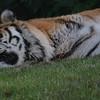 Amur Tiger, Animals, Big Cat, Marwell Zoo, Siberian Tiger, Tiger - 12/06/2008