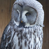 Animals, Birds, Great Grey Owl, Marwell Zoo, Owl - 02/02/2013