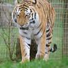 Amur Tiger, Animals, Big Cat, Marwell Zoo, Siberian Tiger, Tiger, Zoo - 26/02/2016