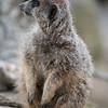 Animals, Marwell Zoo, Meerkat, Slender-tailed Meerkat - 30/03/2016