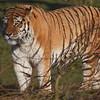 Amur Tiger, Animals, Big Cat, Marwell Zoo, Siberian Tiger, Tiger - 03/01/2009