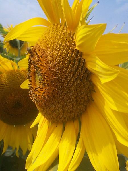 Bee + Sunflower